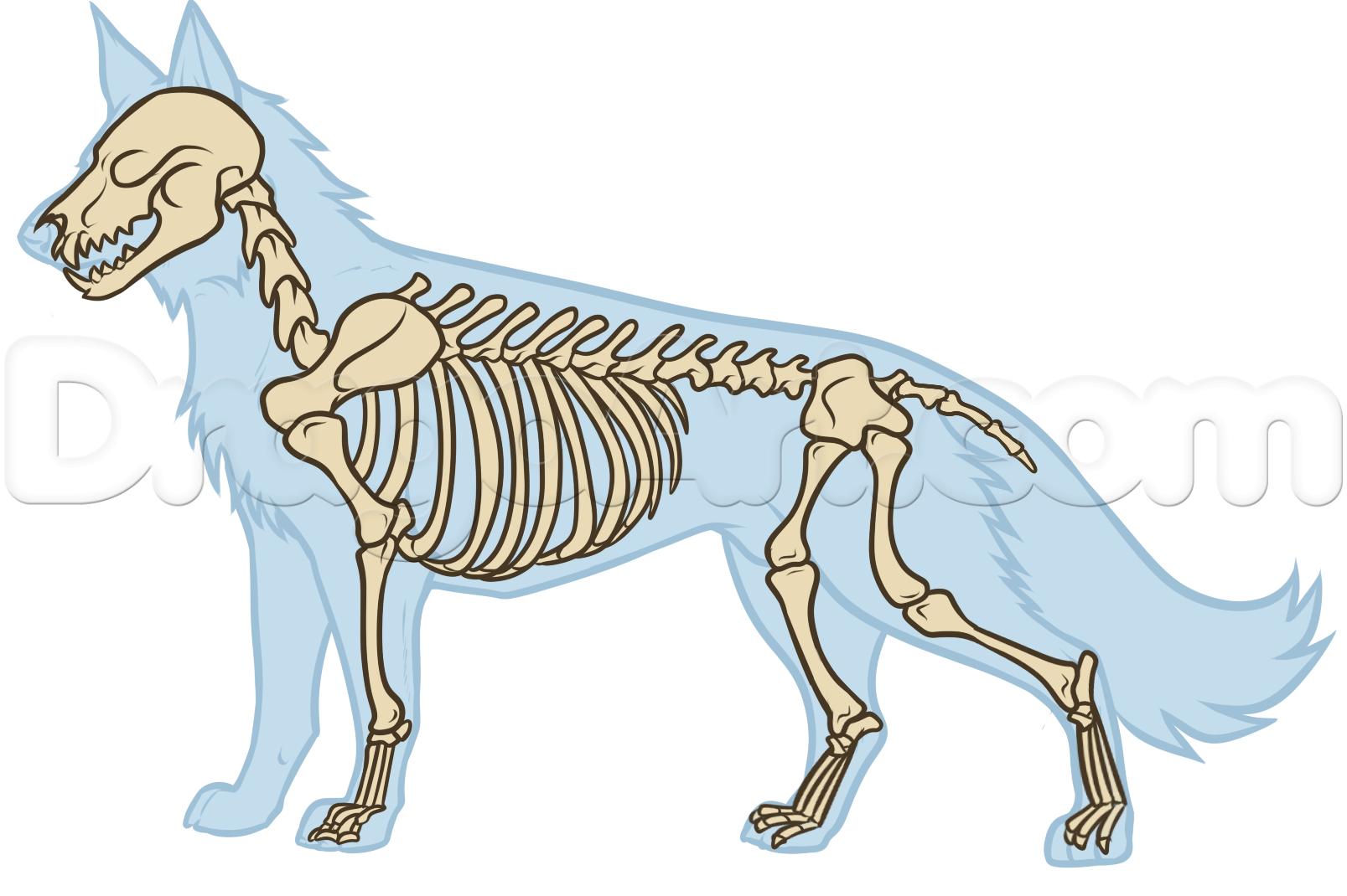 анатомия волка для художника