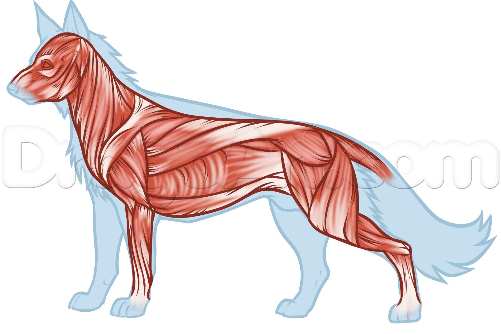 Ри��ем живо�н�� ана�омия волка